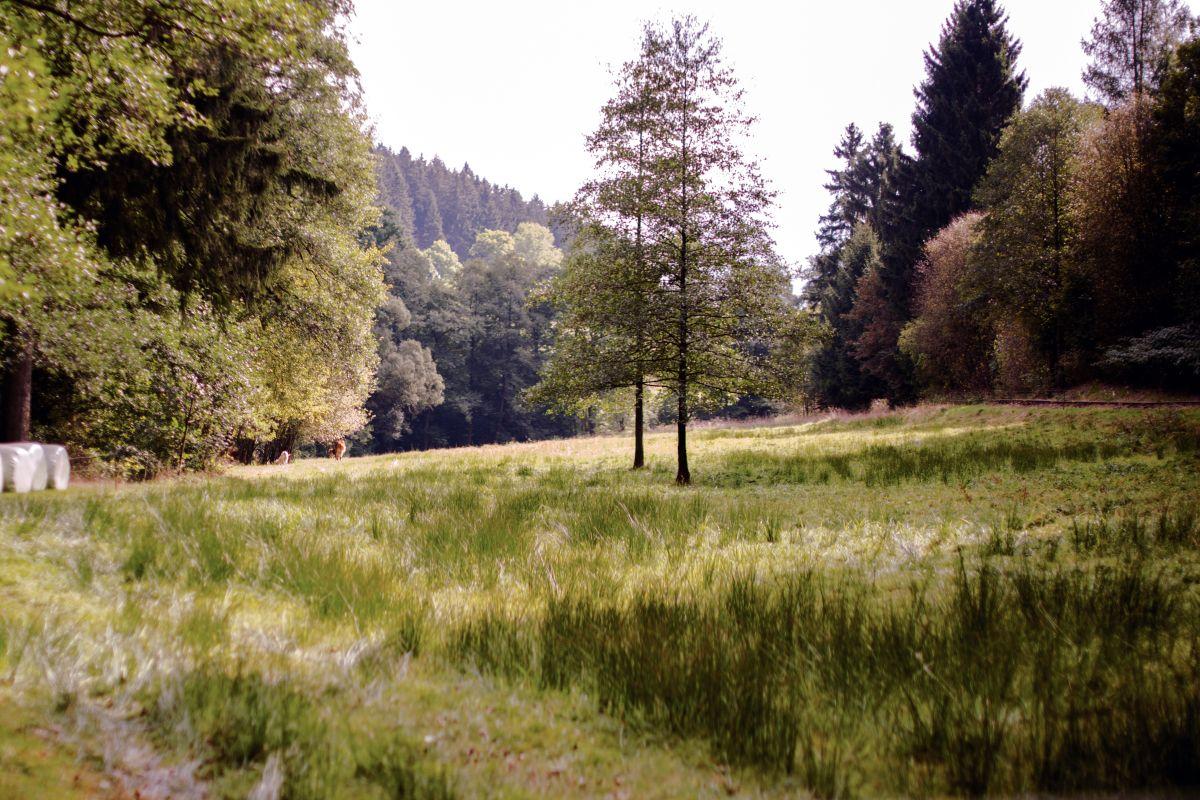 Baum auf Lichtung im Erzgebirge